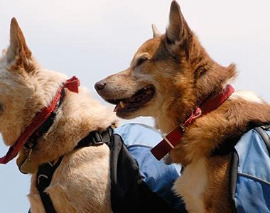 7 Essential Items to Include in Bug Out Bags for Dogs | ultimatepreppingguide.com